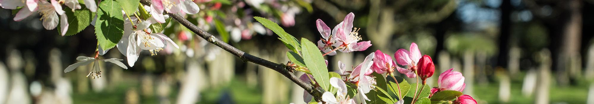 Blossom on tree in cemetery grounds